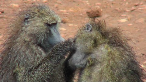 Baboons pick fleas off each other in a grooming ritual in Africa Footage