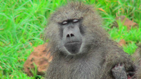 A baboon falls asleep while being groomed Stock Video Footage