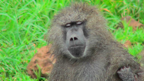 A baboon falls asleep while being groomed Footage