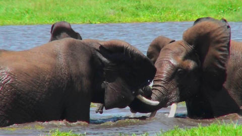 Juvenile elephants play and tussle in a watering hole in... Stock Video Footage