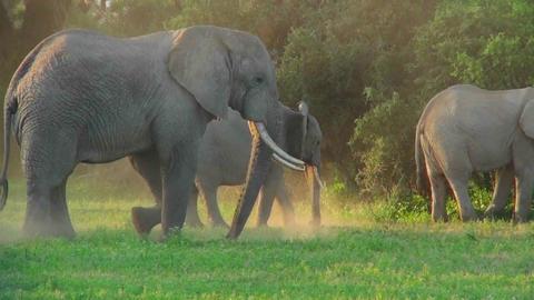 African elephants graze in a field Stock Video Footage