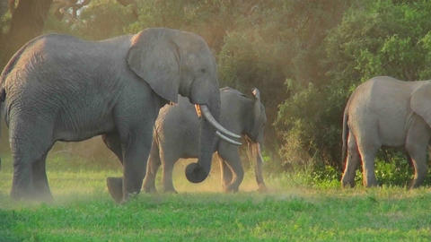 African elephants graze in a field Stock Video Footage