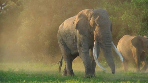 A beautiful majestic giant elephant stands in early... Stock Video Footage