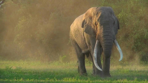 A beautiful majestic giant elephant stands in early morning light with massive tusks Footage