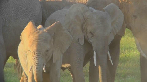Elephants in golden sunrise or sunset light with babies Stock Video Footage