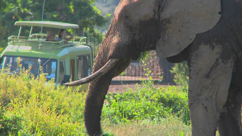 An elephant proudly eats grass while onlookers on safari... Stock Video Footage