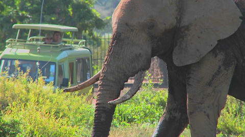 An Elephant Proudly Eats Grass While Onlookers On Safari Take Pictures stock footage