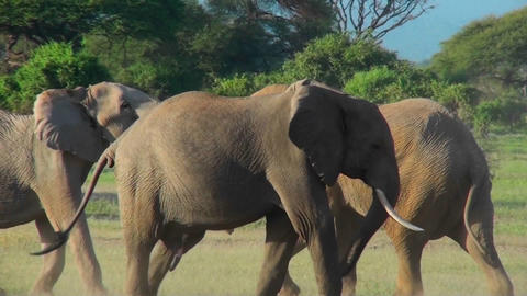 Young elephants fight and tussle in this mating ritual Stock Video Footage
