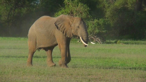 Two elephants fight on the plains of Africa Stock Video Footage