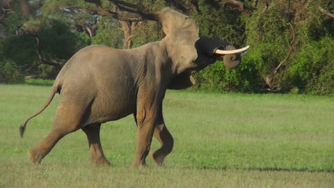 Two elephants fight on the plains of Africa Footage