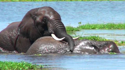 Elephants wrestle and fight in a swamp Stock Video Footage