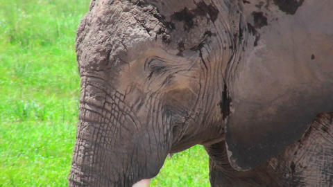 A nice profile shot of an elephant sleeping Stock Video Footage