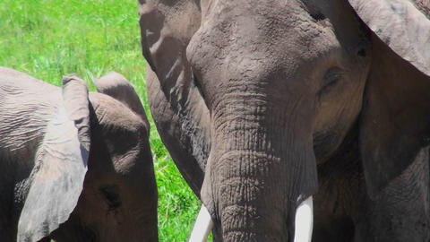 Close up of an African elephant face Stock Video Footage