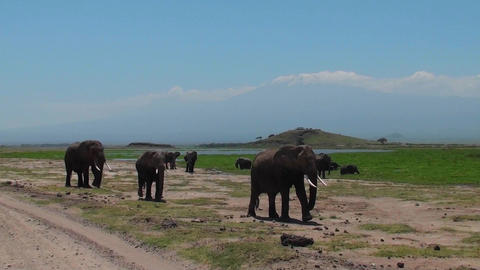 A herd of elephants approaches with Mt. Kilimanjaro in... Stock Video Footage