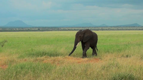 An elephant grazes on the plains of Africa Stock Video Footage