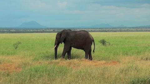 An elephant grazes on the plains of Africa Footage