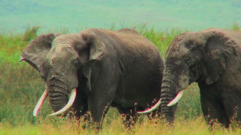 Two elephants graze on the plains of Africa Stock Video Footage