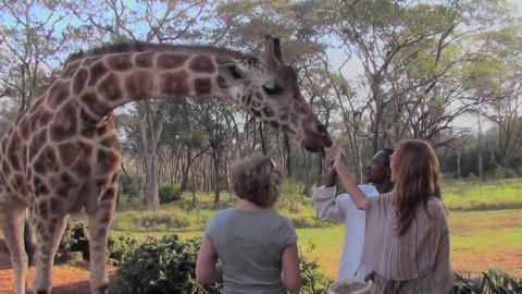 Tourists pet a giraffe in a zoo setting Stock Video Footage