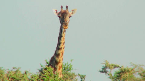 A giraffe peers over the treetops Stock Video Footage