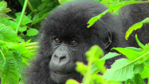 A mountain gorilla baby sits in the greenery of the Rwandan rainforest Footage