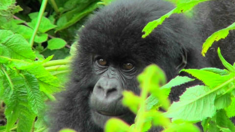 A mountain gorilla baby sits in the greenery of the... Stock Video Footage