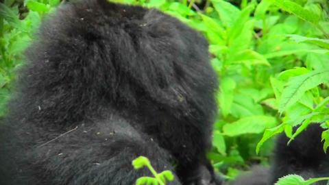 A Rwandan mountain gorilla amongst the green foliage of... Stock Video Footage