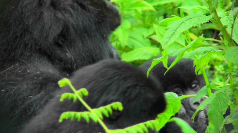 A Rwandan mountain gorilla amongst the green foliage of the jungle Footage