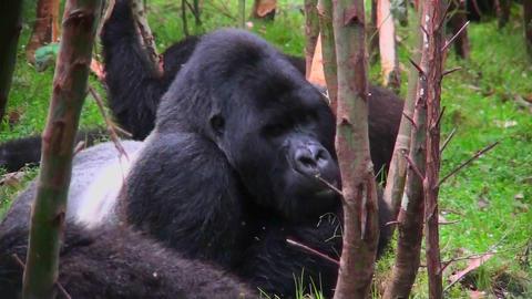A silverback mountain gorilla eats in a eucalyptus forest in Rwanda Footage