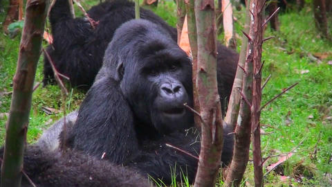 A silverback mountain gorilla eats in a eucalyptus forest... Stock Video Footage