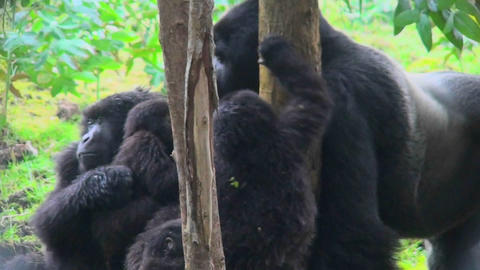 An adult silverback gorilla eats eucalyptus sap from a tree while babies play nearby Footage