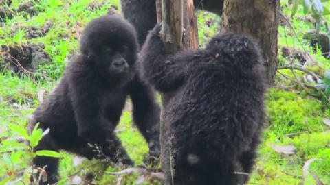 Baby gorillas play and fight in the jungles of Rwanda Footage