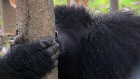 A female mountain gorilla eats eucalyptus bark in the rainforest Footage