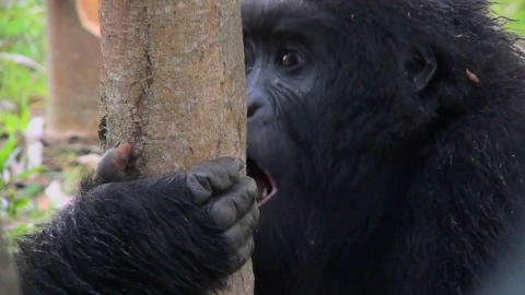 A female mountain gorilla eats eucalyptus bark in the... Stock Video Footage