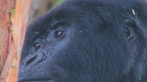 Close on an adult female gorilla looking around Stock Video Footage