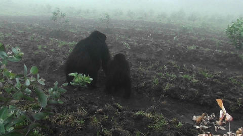 An adult mountain gorilla and baby walk into the mist Footage