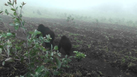 An adult mountain gorilla and baby walk into the mist Stock Video Footage