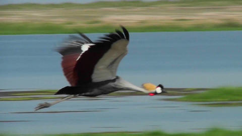A beautiful slow motion shot of an African crested crane in flight Footage