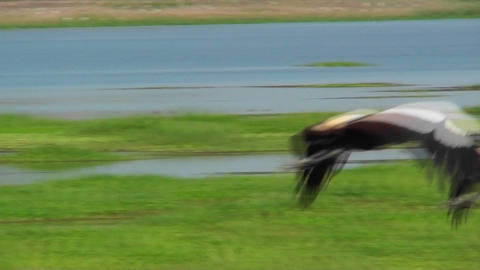 A beautiful slow motion shot of an African crested crane... Stock Video Footage