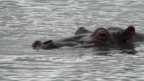 A hippo peers out of the water in a river in Africa Footage