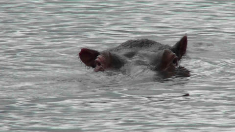 A hippo peers out of the water in a river in Africa Stock Video Footage