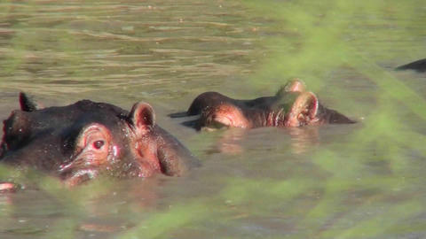 Hippos bathe in a pool in AFrica Stock Video Footage