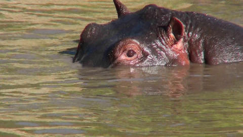 A hippo peers out of a watering hole in Africa Stock Video Footage