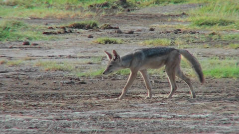 A jackal forages for food on the African plains Stock Video Footage