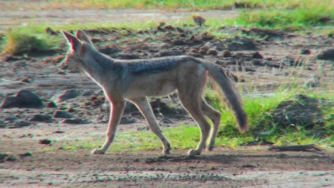 A jackal walks through the plains of Africa Stock Video Footage
