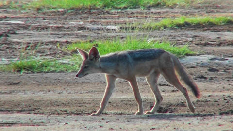 A jackal walks through the plains of Africa Footage