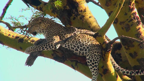 An African leopard looks agitated while resting in a tree Footage