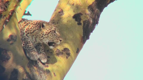 A leopard looks down from a tree Stock Video Footage