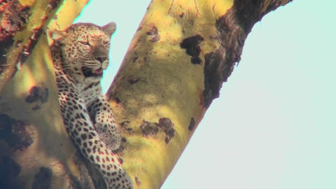 A leopard looks down from a tree Footage