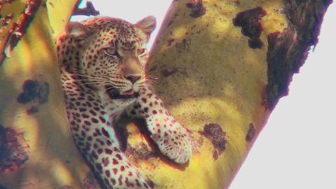 A leopard lounges in a tree Footage