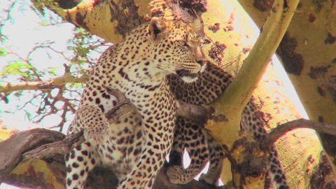A mother leopard defends her baby in a tree in Africa Stock Video Footage